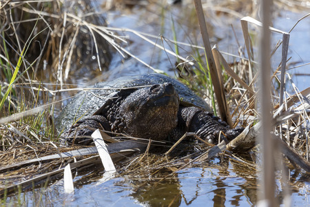 Old Common snapping turtle (Chelydra serpentina) in the conservation wildlife area in Wisconsin. Banco de Imagens