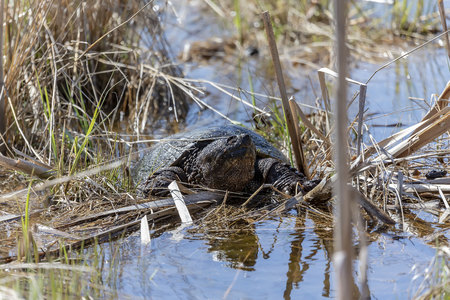 Old Common snapping turtle (Chelydra serpentina) in the conservation wildlife area in Wisconsin. Imagens - 121649367