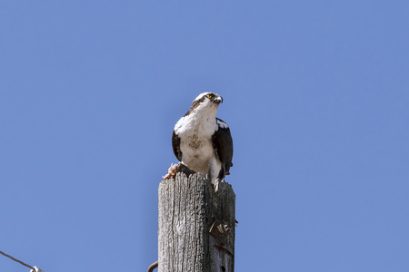 Western osprey (Pandion haliaetus) with caught fish on old electrical pole