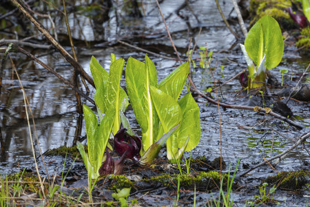 Eastern skunk cabbage ,Symplocarpus foetidus,native plant of eastern north America.Used  as a medicinal plant and magical talisman by various tribes of native americans Stock Photo