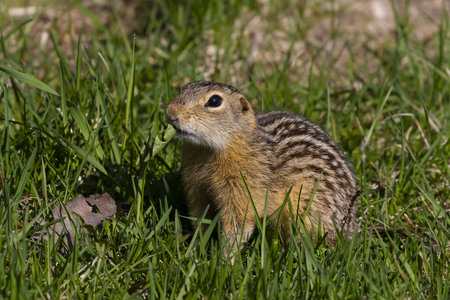Thirteen-lined ground squirrel feeding on prairie grasses and flowers