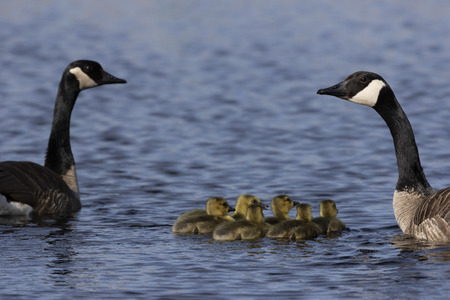 Canada geese swimming with thier goslings on the river.Nature scene from Wisconsin. Stock Photo