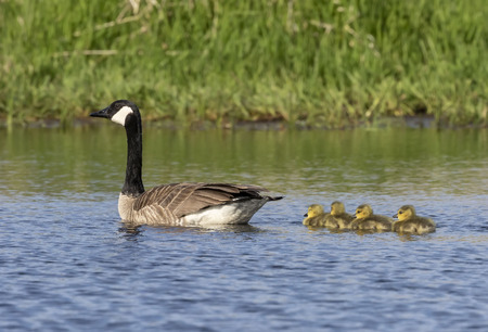 Canada goose swimming with thier goslings on the river.Nature scene from Wisconsin.