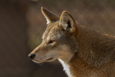 Lobo rojo (Canis lupus rufus) una rara especie de lobo nativa del sureste de los Estados Unidos. Imagen de ZOO.