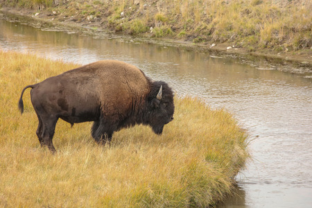 American bison (Bison bison) in Yellowstone national state park .Nature scene from Wyoming.