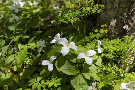A Beautifull North American Flower White Trillium Flower Trillium