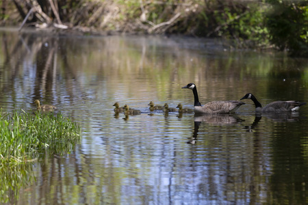 Canada geese swimming with thier goslings on the Silver creek.Nature scene from Wisconsin.