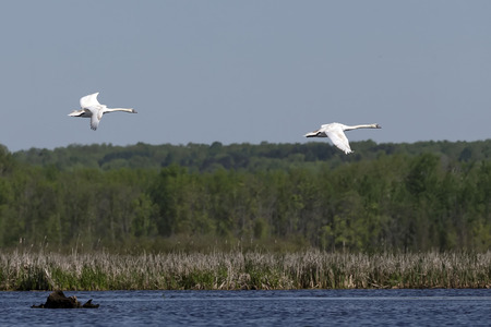 Mute swan (Cygnus olor) in flight over the lake