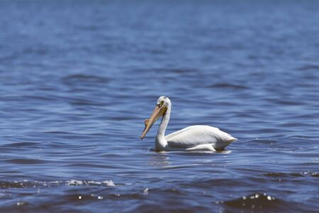 White Pelicans (Pelecanus erythrorhynchos) on the water.Nature scene from lake Michigan Wisconsin.