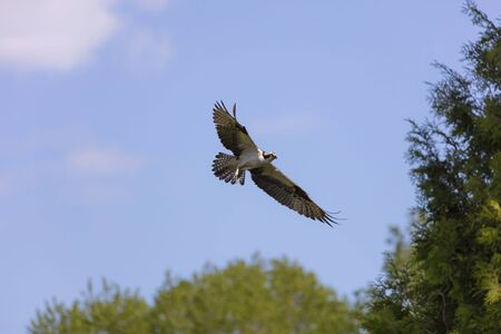 Western osprey (Pandion haliaetus) in flight,nature scene from Wisconsin