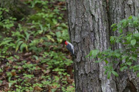 Red-bellied woodpecker (Melanerpes carolinus) in the park