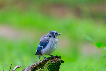 Giovani Blue Jay (Cyanocitta cristata) nella foresta Archivio Fotografico