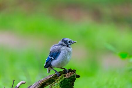 Młoda sójka modraszkowa (Cyanocitta cristata) w lesie Zdjęcie Seryjne