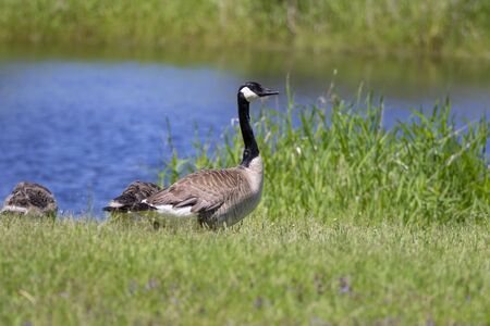 Canada goose (Branta canadensis) with their goslings Stock Photo