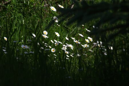 flowering marguerites in the forest meadow Stock Photo