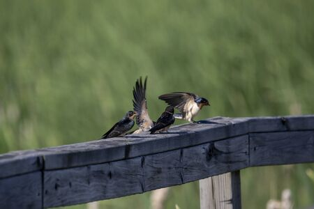 The barn swallow (Hirundo rustica) feeds the chicks that left the nest