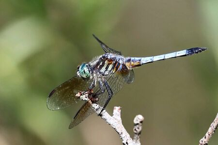 Dragonfly sitting in scrub branch ,natural scene from Wisconsin Banco de Imagens