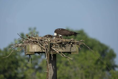 Western osprey,(Pandion haliaetus) sitting on the nest.
