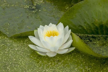 Waterlily an ornamental aquatic plant with large round floating leaves and large, typically cup-shaped, floating flowers.