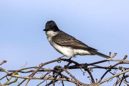 The eastern kingbird (Tyrannus tyrannus) sitting on fence Stock Photo