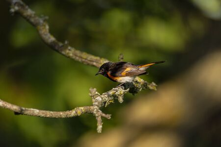 The American redstart (Setophaga ruticilla).Male sitting on a branch.