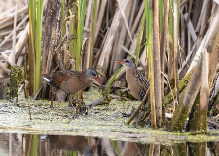 The Virginia rail (Rallus limicola) ,small waterbird