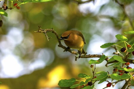 The cedar waxwing (Bombycilla cedrorum)in mulberry tree.The mulberry tree offers food for many bird species