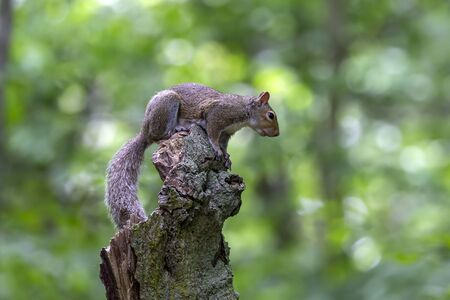 The eastern gray squirrel (Sciurus carolinensis) in the forest