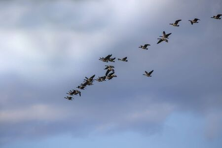 Thousands of geese migrate each year, many hunters await for flocks of Canadian geese 版權商用圖片 - 128433043