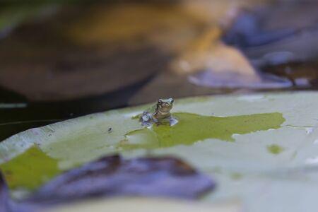 Tiny gray treefrog (Hyla versicolor) is native frog on humal hand Imagens
