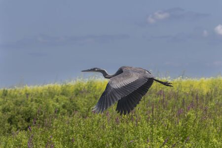 Young Great blue heron in defending its hunting territory Archivio Fotografico