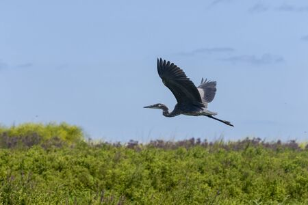 Young Great blue heron in defending its hunting territory Imagens