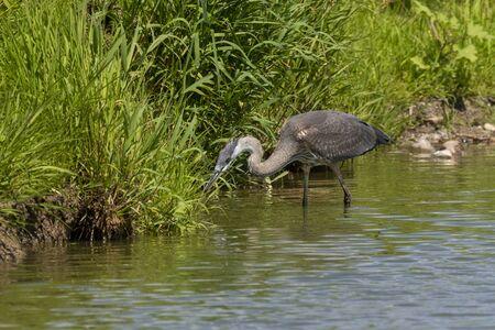 Juvenile Great blue heron in natural environment