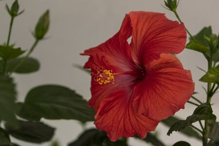 Blooming hibiscus in urban botanical garden Imagens