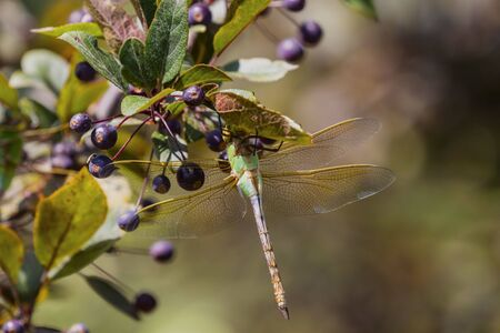 Common Green Darner (Anax junius) on the branch tree