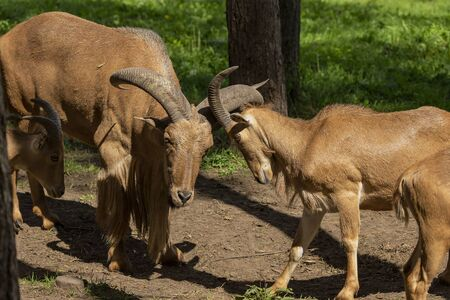 Barbary sheep (Ammotragus lervia) or aoudad is a species  native to rocky mountains in North Africa. Is non-native species into the wild of New Mexico and Texas.