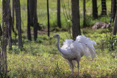 The rare white emu is an endemic animal from Australia related to an ostrich