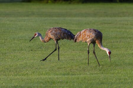 Sandhill crane on meadow in city park