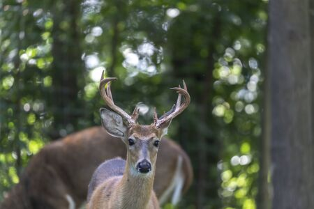 White tailed deer in the forest