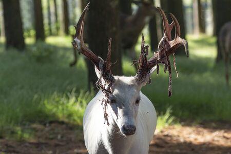 The white tailed deer,albino. Photo of Deer  Shedding Their Velvet