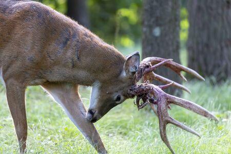 The white tailed deer. Photo of Deer Shedding Their Velvet