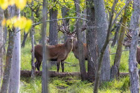 European red deer (Cervus elaphus) in rut, it is fourth  the largest deer species