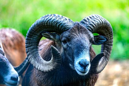 The mouflon (Ovis orientalis) during mating season on game reserve.
