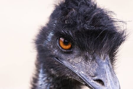 The Emu (Dromaius novaehollandiae),large bird,cultural icon of Australia,relative of ostrich.Head detail.