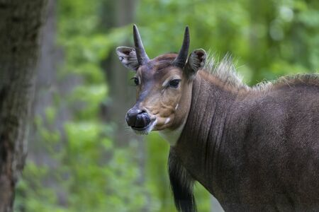 Nilgai - Blue Bull (Boselaphus tragocamelus), one of the large antelope and the largest of  Asian antelope. 版權商用圖片