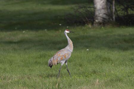 The sandhill crane (Antigone canadensis) on wet meadow Фото со стока