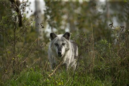 The Timber Wolf (Canis lupus), also known as the gray wolf , natural scene from natural environment in north America.