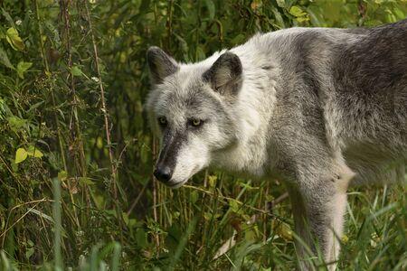 El lobo de madera (Canis lupus), también conocido como el lobo gris, escenario natural del entorno natural en América del Norte. Foto de archivo