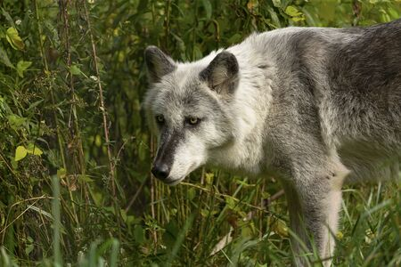 The Timber Wolf (Canis lupus), also known as the gray wolf , natural scene from natural environment in north America. Reklamní fotografie