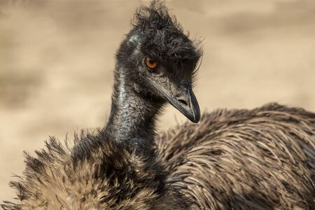 The Emu (Dromaius novaehollandiae), Legs detail. Australian largest native bird,relative of ostrich.Emus have three toes on each foot and ostrich has two toes on each foot.